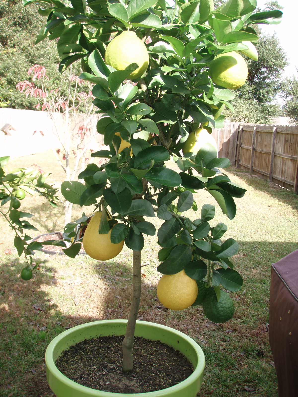Trees pots and lemon on pinterest for Growing a lemon tree in a pot from seed